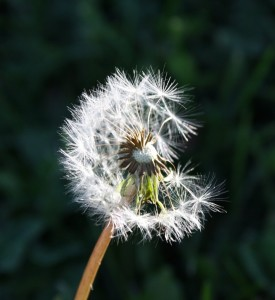 dandelion_seeds-550x600