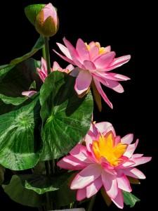 lotus-236060_640