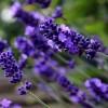 lavender-411696_640