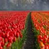 tulips-21690_1280