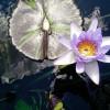 lotus-899579_640